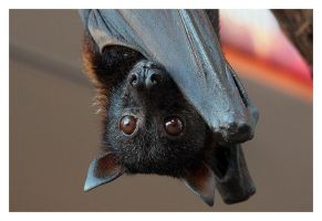 Malayan Flying Fox 2 - closeup by littleredelf