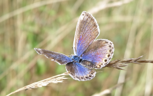 Blue Shimmering Butterfly by Bhesi