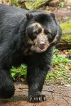 Spectacled Bear by darkSoul4Life