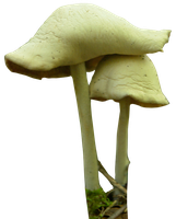 mushroom 10 png by gd08