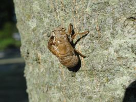 Cicada Shell Stock by stormymay888