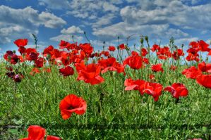 Poppy by Rayon2lune