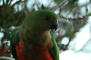 King Parrot I by FreeakStock