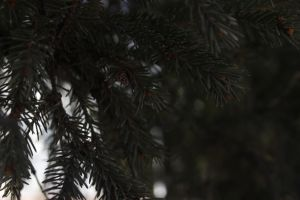 evergreen tree 2 - little cone by FreedomeSoul88
