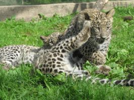 Persian Leopard 02 by animalphotos