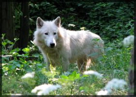 Arctic wolf: Fairy or wolf? by Allerlei