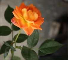 incredible this rose blooms yet 2 by GLO-HE