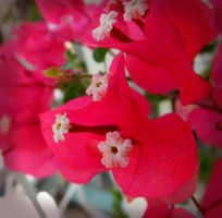 Bougainvillea by Ionday