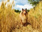 Lassie in the Sun by hermio