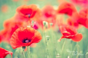 Poppys by roopi