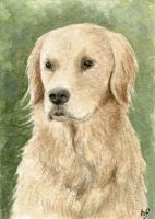 ACEO Golden Retriever by haz-elf