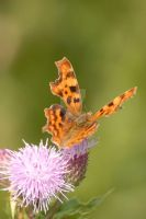Comma Butterfly by Sarah-Hann-photo