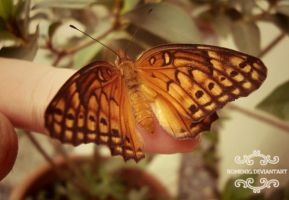 Brazilian Butterflie by Romenig