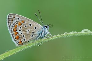 Polyommatus by Mantide