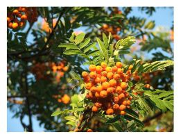 Orange Berries by BemusedBonnie