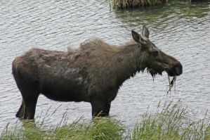 Alaska Moose by MogieG123