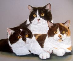 3x British Shorthair Cat by mo62