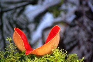 red fungus by cheah77
