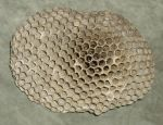 Wasp Nest by Windthin
