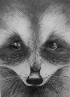 Racoon by Sam-in-Motion