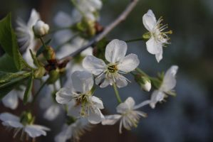 Cherry tree by Colike