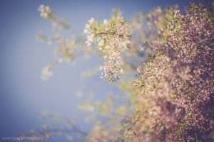 blossoms by tjasa
