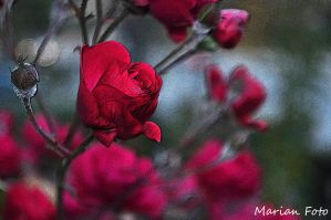Rose... by mmariang