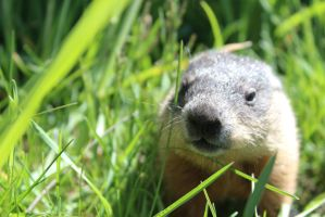 Baby Groundhog by Accyber