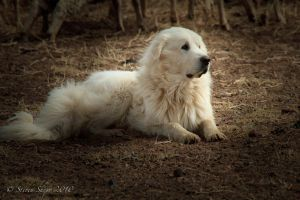 Sheep Dog by Mac-Wiz