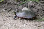 A Painted Turtle by PhotoWriter87