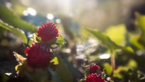 Wild Strawberry by Danimatie