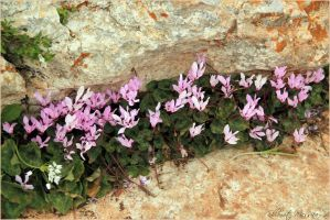 Cyclamens between the rocks by ShlomitMessica