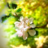 in blossom by BrokenLens