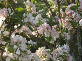 Apple Blossom 6 by YesIamEccentric