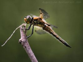 Dragonfly Wallpaper by dugonline