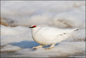 Rock Ptarmigan by juddpatterson
