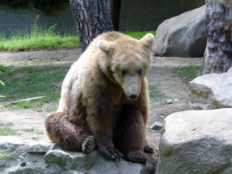 Eurasian Brown Bear (Ours Brun d'Europe) by NohlwaynKherVail