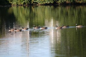 CANADIAN GEESE ONA POND by zraclooc