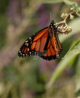 The Monarch2 by InettaPaola