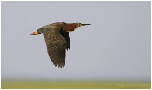 Green Heron by Ryser915