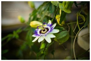 Passiflora 1 by blinka