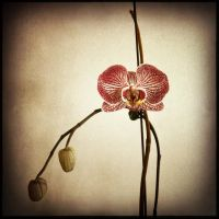 Orchid by cameraflou