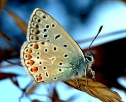 Common Blue by Meteorolog