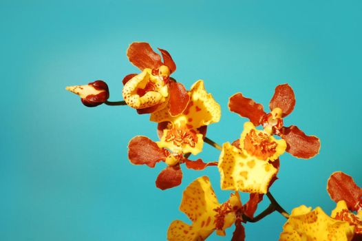 Blue sky Orchid by greetz