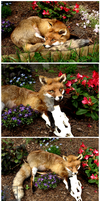 COM : wild red fox for OinaWarrior 1 by Braveheart-Taxidermy