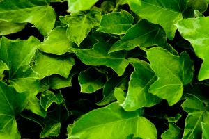 Ivy Wallpaper by designerfied