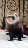 Ferret Stock 2 by Dingelientje-stock