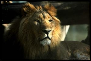 Royal lion by AF--Photography