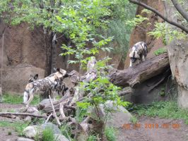 african wild dogs by tabby25