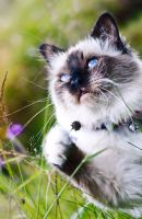 Sacred Birman by Torkil